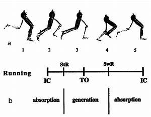 The Gait Cycle  1a Running  1 Stance Phase Absorption  2