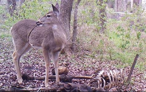 Deer Caught Gnawing On Human Bones