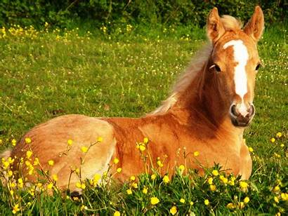 Horse Horses Wallpapers Palomino Thoroughbred Foal Foals
