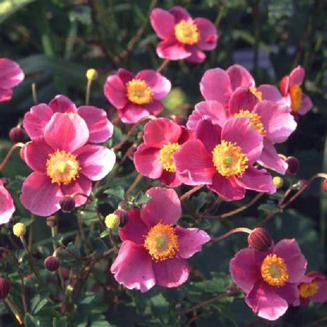 Garten Herbst Anemone by China Herbst Anemone Praecox Anemone Hupehensis