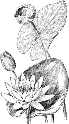 How to draw a water lily and pad | Step by step Drawing tutorials | Art | Drawings, Art, Art