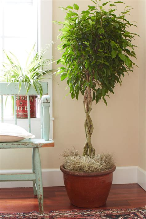grow ls for indoor plants tips for caring for your ficus tree hgtv