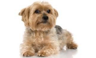 dog breeds that don t shed dog breeds that don t shed find