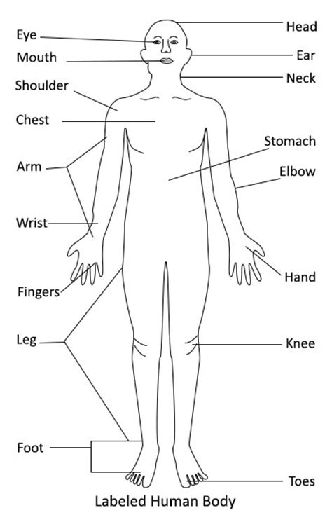 Diagram Of Part Of Human by Human Diagram