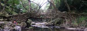 The Living Tree Root Bridges of Cherrapunji | Emergent ...