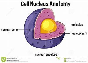 Cell Nucleus Anatomy Diagram Stock Vector