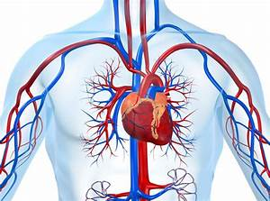 Aging Of Heart And Blood Vessels
