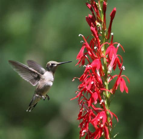 humming bird plants cardinal flowers and hummingbirds pollination