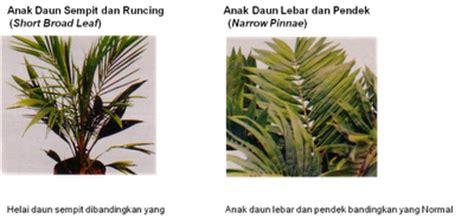 pembibitan utama main nursery budidaya kelapa sawit