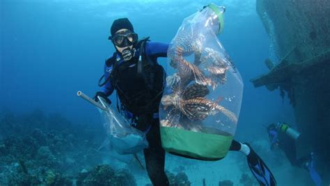 divers  lionfish invasion    hands cbs news