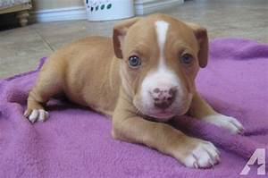 Chocolate Red Nose Pitbull Puppies | Female red pitbull ...