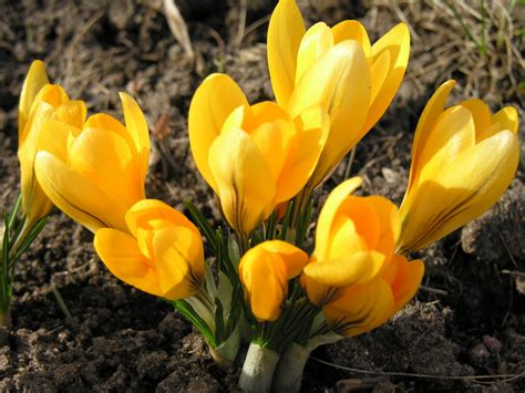 pictures of crocus file crocus flavus jpg wikipedia