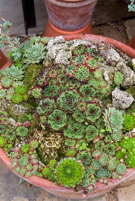 planting succulents in containers sempervivums sedums in container pot mixed succulent 4262