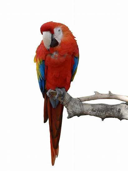 Parrot Parrots Transparent Deviantart Iciness Animal Macaw