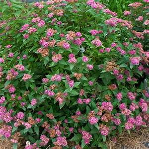 Proven Winners 3 Gal  Double Play Artisan Spirea Colorchoice Shrub-spiprc1013135