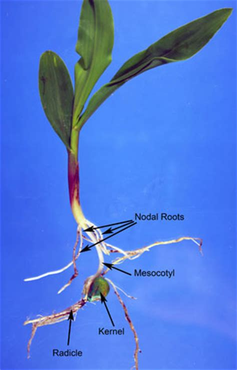 early corn root development integrated crop  pest