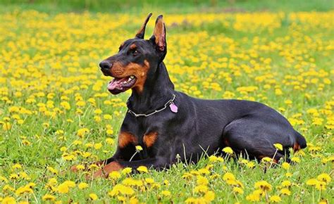 do miniature doberman pinschers shed do dobermans shed the potential causes and solutions of
