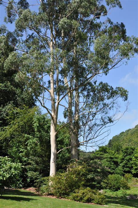 Eucalyptus Dalrympleana Wikipedia