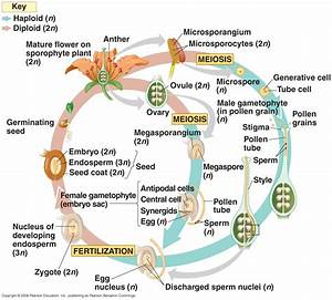 Biology Pictures  Angiosperm Life Cycle