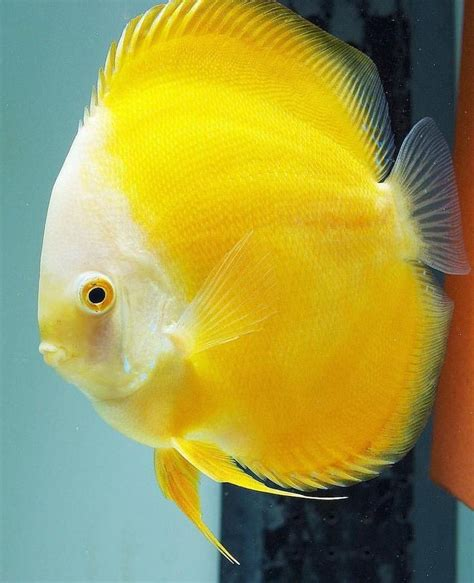 aquarium fish  sale discus  sale lowest pricing