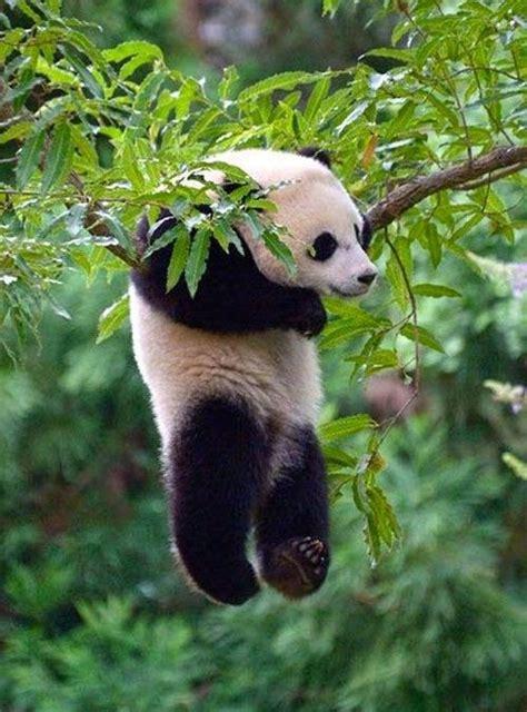 hanging panda  beautiful beautiful trees   tree