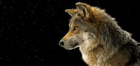 wolf howl sound  ringtone downloads animal ringtones