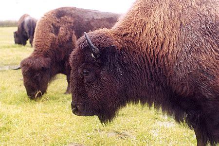 plains bison species profile alaska department  fish