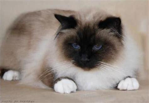 birman cats breed profile  facts