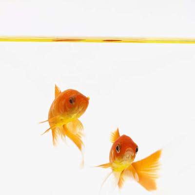 forscher z 252 chten goldfische mit durchsichtiger haut erziehung besch 228 ftigung yaacool