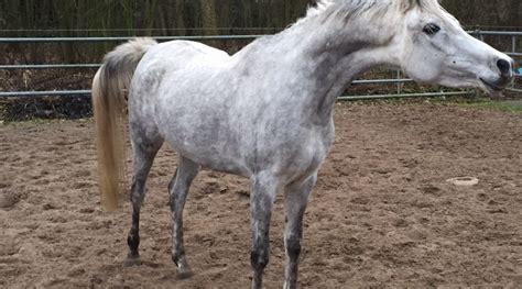 grey arabian mare arab horses  sale