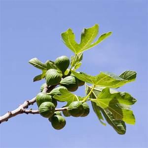 Feigenbaum Im Kübel : feige umtopfen so machen sie 39 s richtig ~ Lizthompson.info Haus und Dekorationen