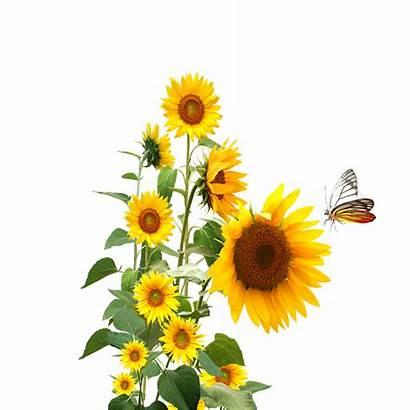 Sunflowers Silhouette Clipart Sunflower Butterfly Transparent Clip