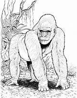 Gorilla Coloring Pages Animals Jungle Animal Printable Gorillas Mountain Forest Drawing Zoo Wildlife Books Rainforest Ape Sheets Printables African Cartoons sketch template