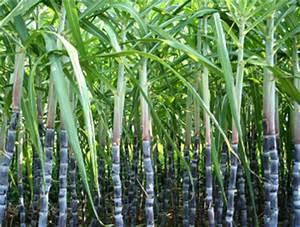 Sugar Cane | MaxSil