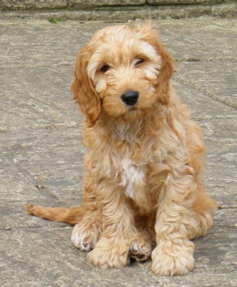do f1 cockapoos shed best 25 cockapoo puppies for sale ideas on