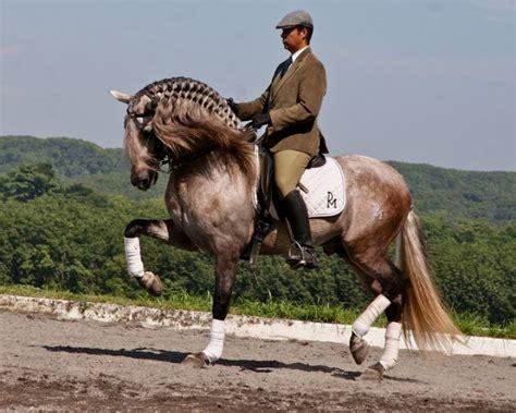 horse horses andalusian grey pura raza dressage azteca yeguada herrera caballos rose hair stunning most equitation stallion espanola famous stallions