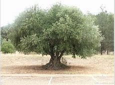 National Tree Of Greece Olive 123Countriescom