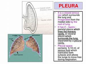 Ppt - Pleura And Lung Powerpoint Presentation