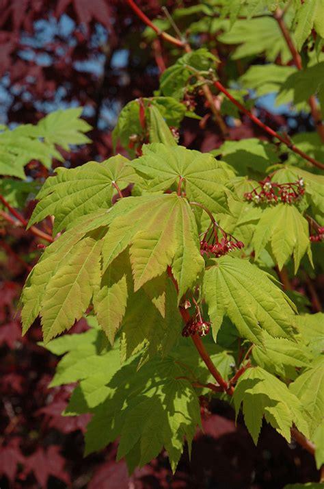 pacific fire vine maple acer circinatum pacific fire