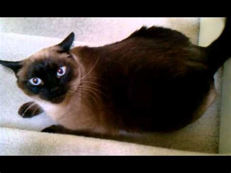 Affectionate Siamese Cat Youtube