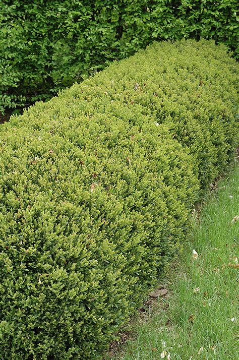 green gem boxwood buxus green gem  columbus dublin