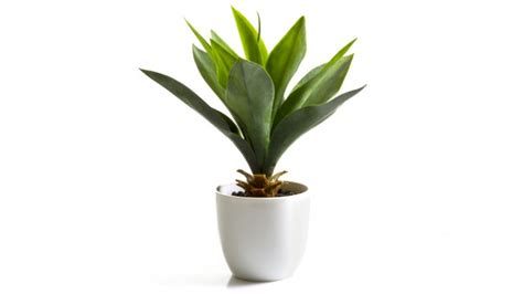 Buy Agave Bush 27cm Potted Plant