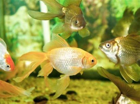 wie groß werden goldfische wissen 252 ber haustiere wie alt werden fische