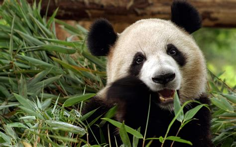 hd panda hd backgrounds pixelstalk net