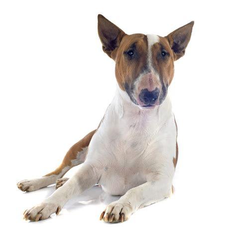 bull terrier dogs breed information omlet