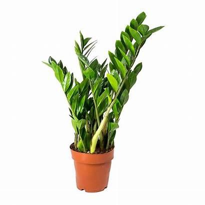 Zamioculcas Plant Zz Zamiifolia Plants Zamioculca Zamifolia