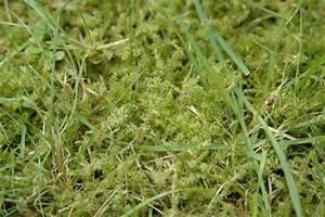 Quecke Im Rasen : mousse et mauvaises herbes landi ~ Lizthompson.info Haus und Dekorationen