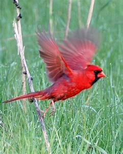 Red Cardinal Bird Quotes. QuotesGram
