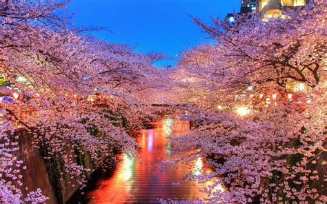 sakura blossom hd wallpaper hd latest wallpapers