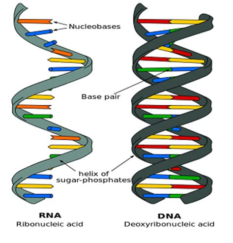 Dna & Rna Summary Studynotesie